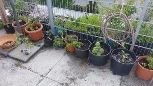 Ertragszone auf dem Balkon: Tomaten, Auberginen, Paprika und eine Physalis.