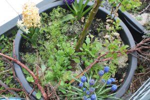 Unterpflanzung der Salix caprea: Dill, wilde Möhre und ein paar Traubenhyazinthen.
