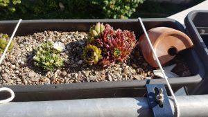 Blühende Sempervivum im Balkonkasten auf Kies
