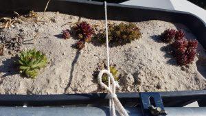 Sempervivum im Balkonkasten auf Sand